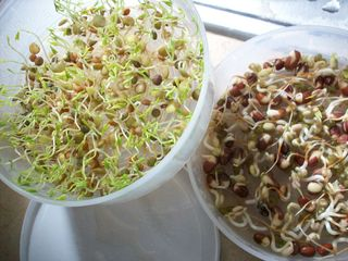 Today's sprouts